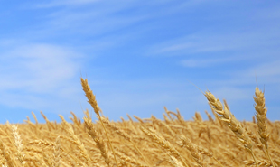 Fields of wheat and skies of blue